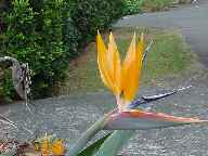 The Bird of Paradise, a relative of the banana plant, got its name from the beautiful flower resembling a brightly colored bird in flight